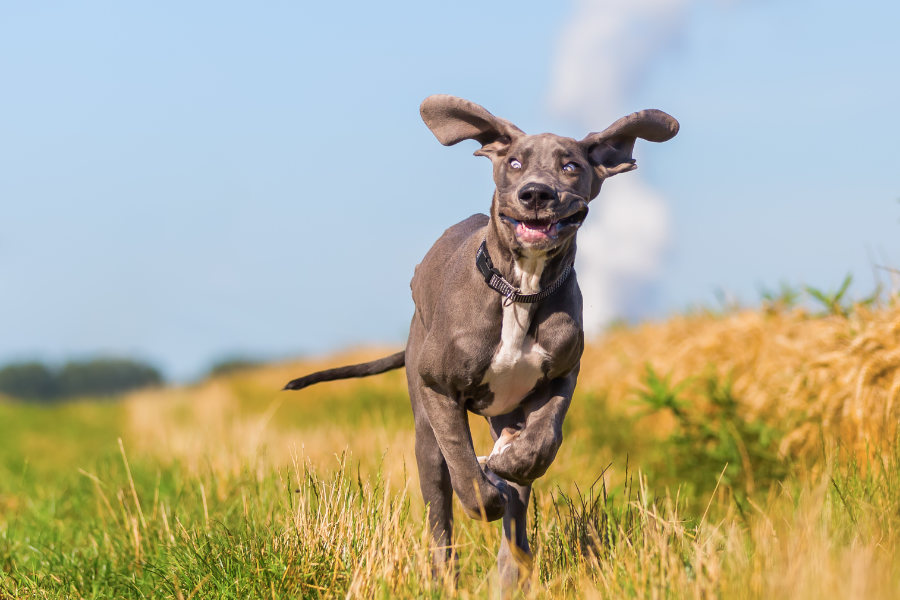 Great Dane (Photo: Adobe Stock)