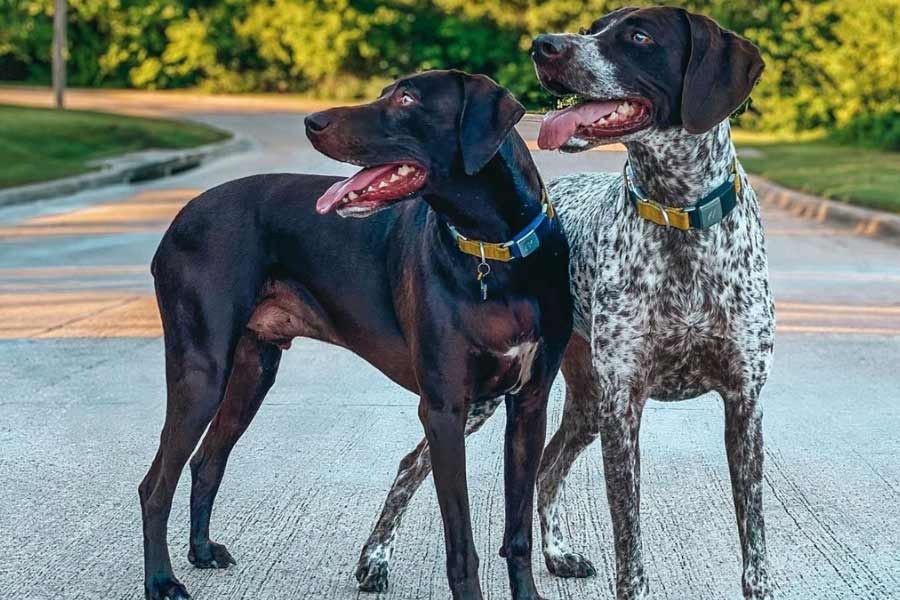 Abbie and Gunnar the German Shorthaired Pointers (Photo: @abbieandgunnar / Instagram)