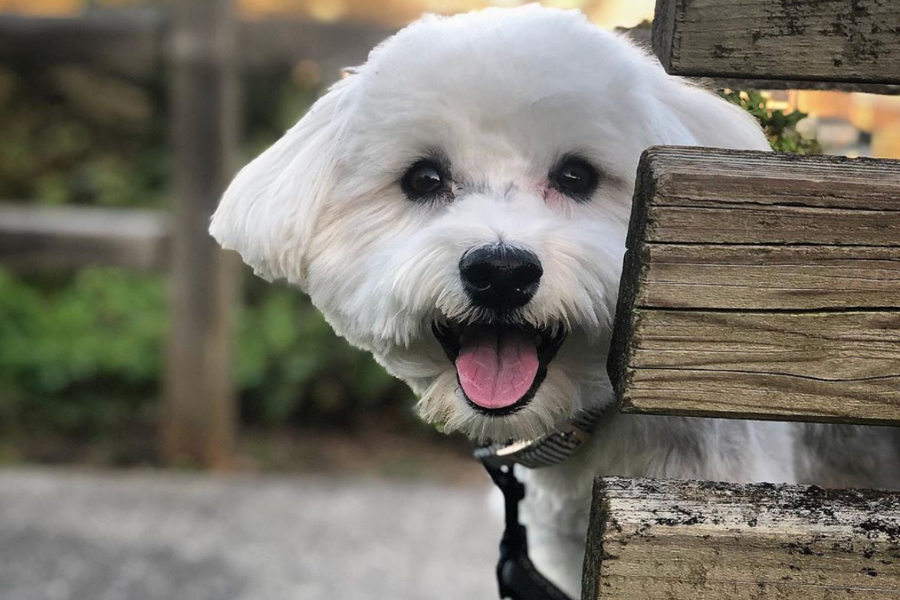 Havanese dog Einstein (Photo: @einstein_panda / Instagram)