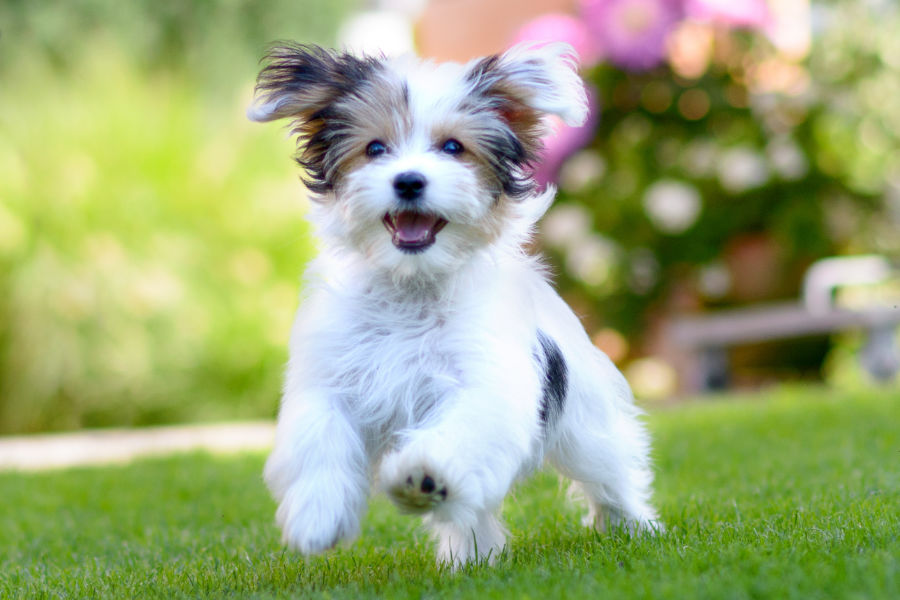 Havanese enjoying some play time (Photo: Adobe Stock)