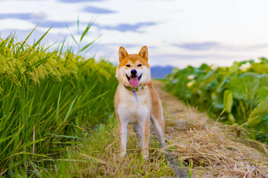 Shiba Inu are Japanese dogs (Photo: Adobe Stock)