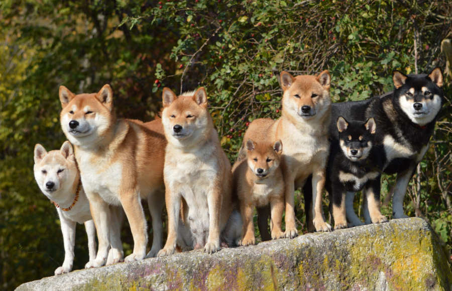 Shiba Inu originated in Japan (Photo: Adobe Stock)