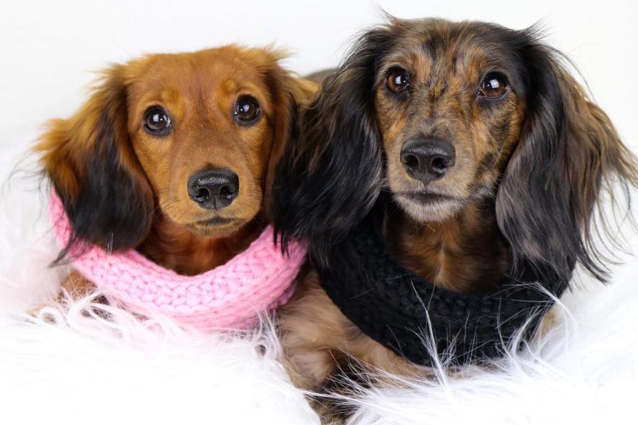 Hazelnut and Holly long-haired Dachshunds (Photo: hollyandhazelnut / Instagram)