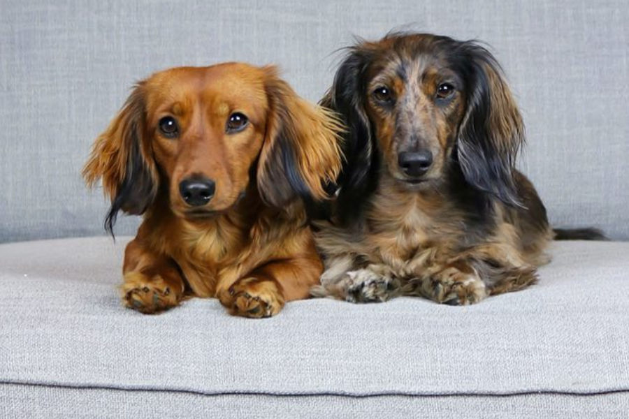 Hazelnut and Holly long-haired Dachshunds (Photo: hollyandhazelnut / Instagram)
