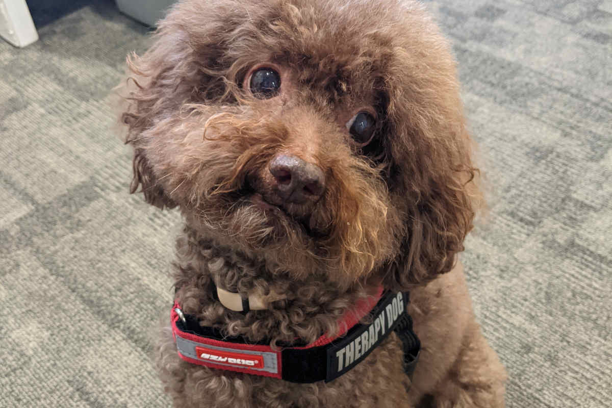 One of HKUST's therapy dogs (Photo: HKUST)