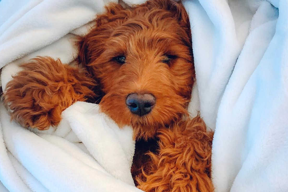 Irish Doodle Bubba (Photo: bubba.thedood / Instagram)