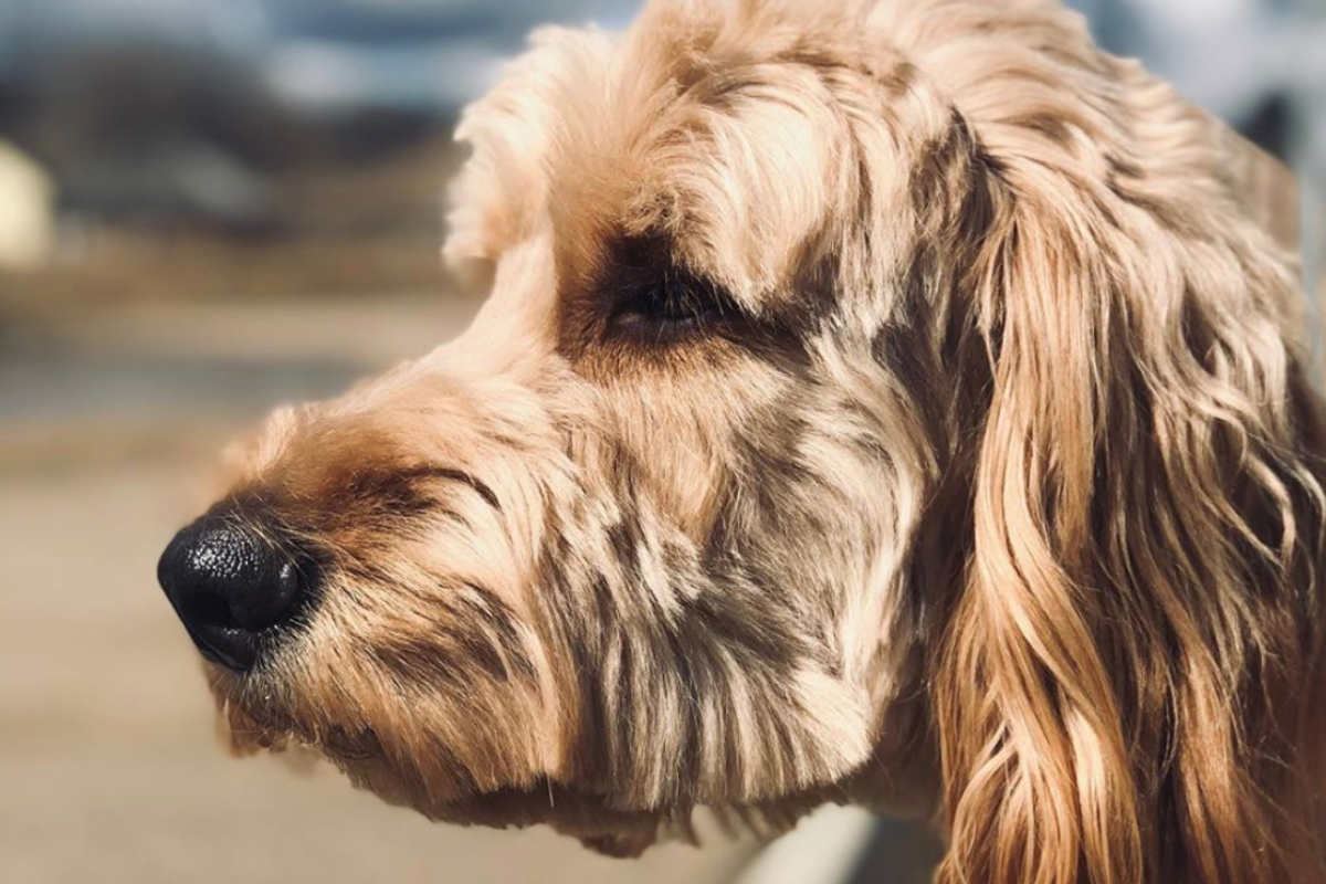 Irish Doodle Guinness (Photo: guinness_irishdoodle / Instagram)