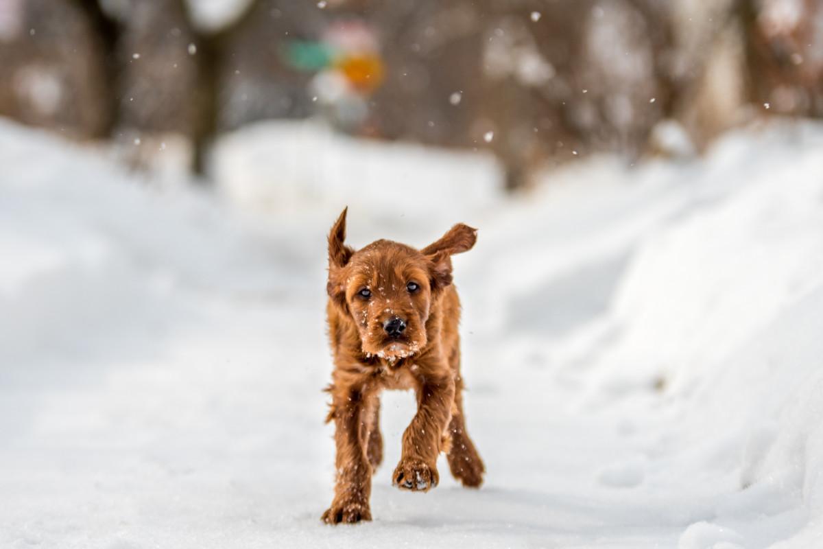 Irish Doodle running in the snow (Photo: Adobe Stock)