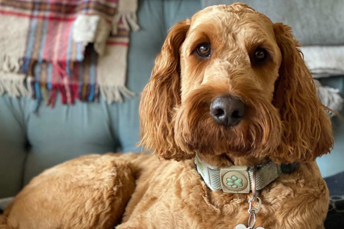 Irish Doodle Rusty (Photo: rusty_theirishdoodle / Instagram)