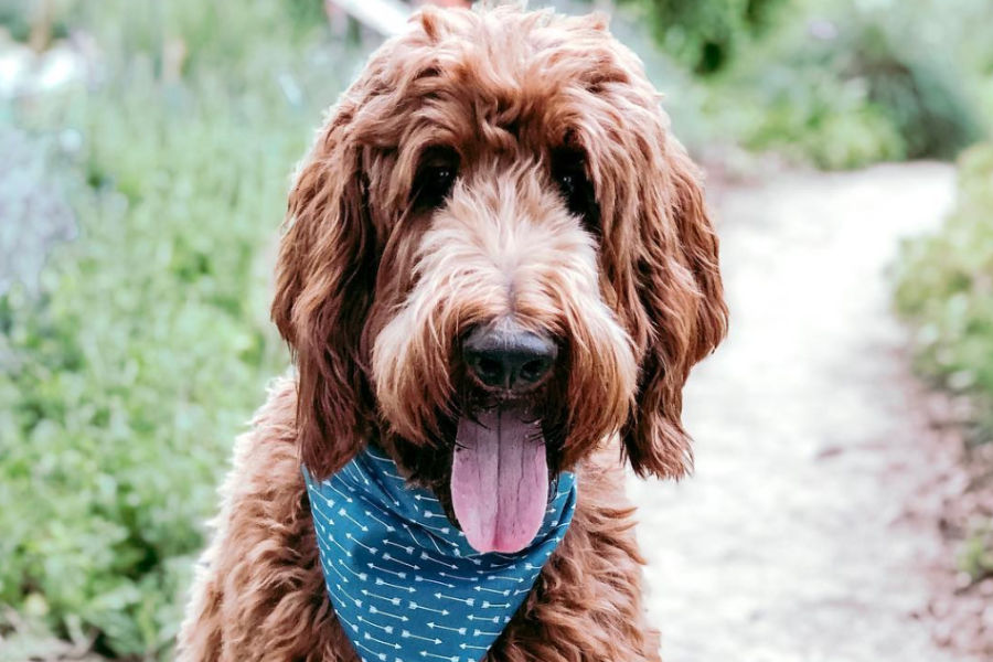 Hunter the Irish Doodle (Photo: @hunterdoodle530 / Instagram)
