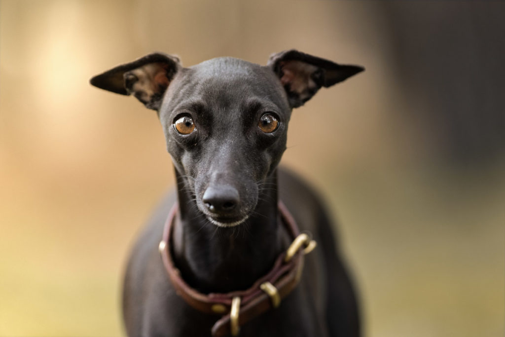 Italian Greyhounds (Photo: Adobe Stock)
