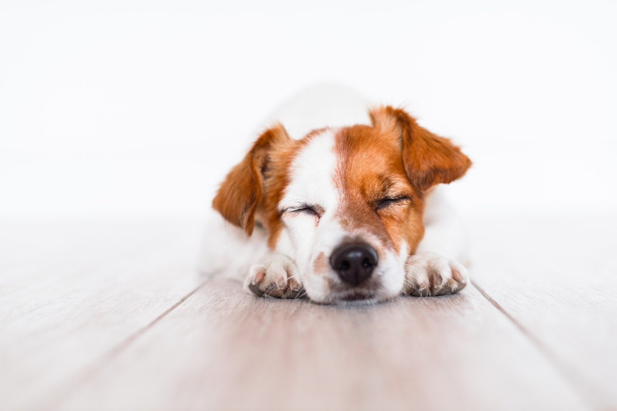 Jack Russell sleeping on the floor at home (Photo: Adobe Stock)