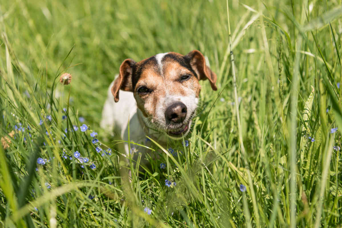 Jack Russell Terrier eats grass (Photo: Adobe Stock)