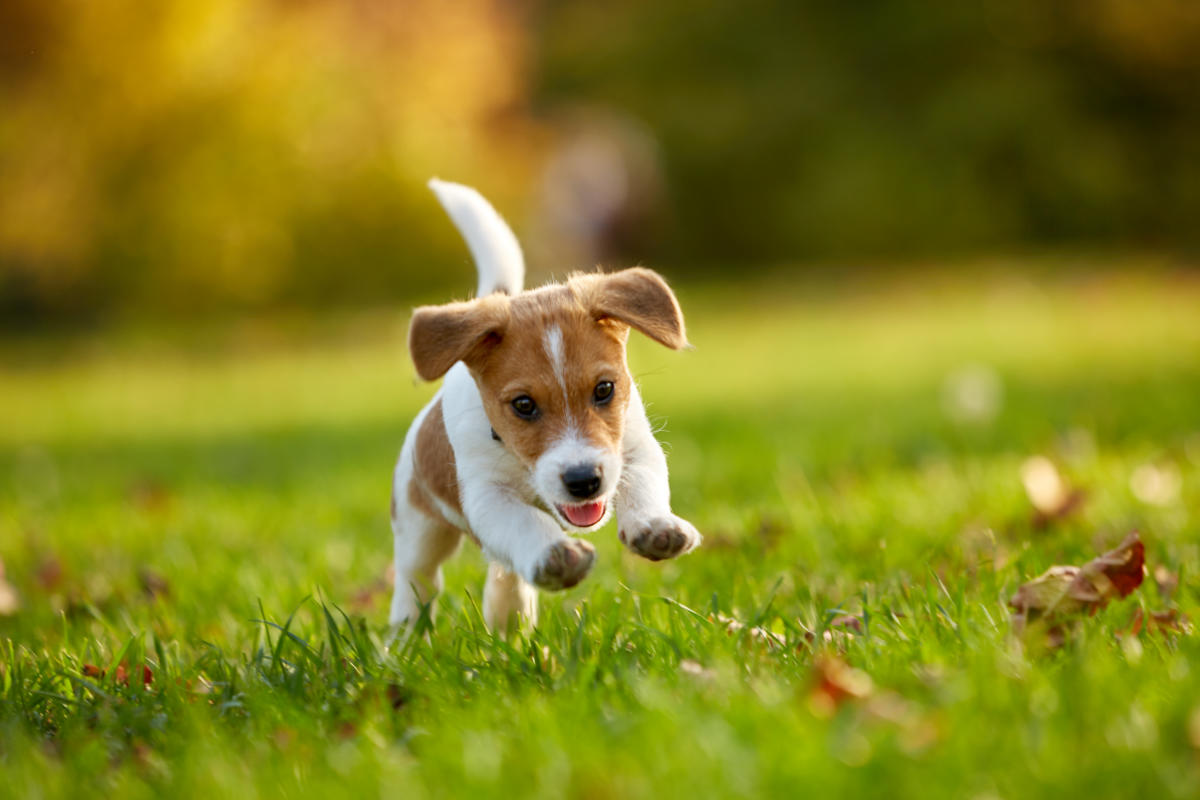 Jack Russell Terrier puppy (Photo: Adobe Stock)