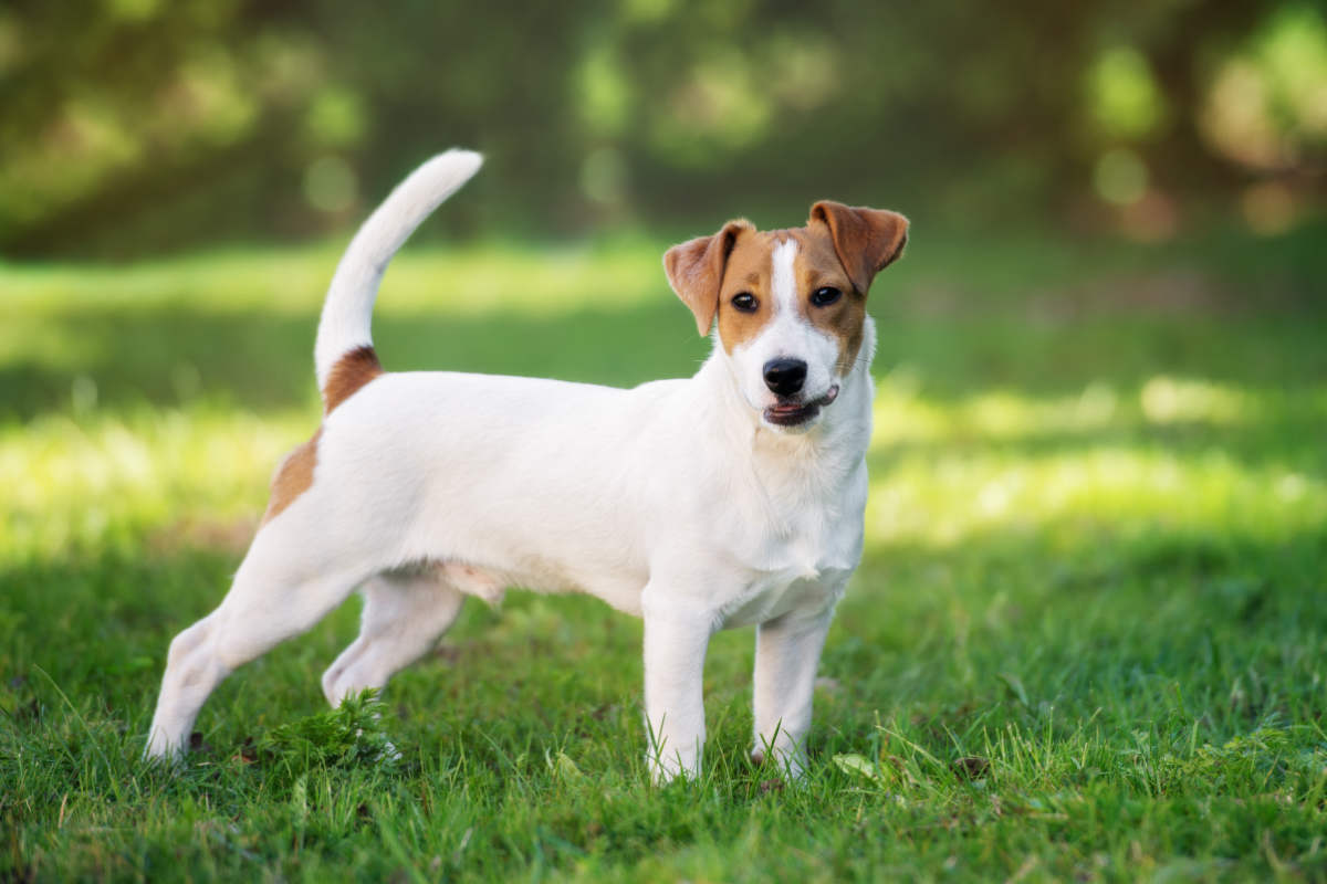 Jack Russell Terrier (Photo: Adobe Stock)