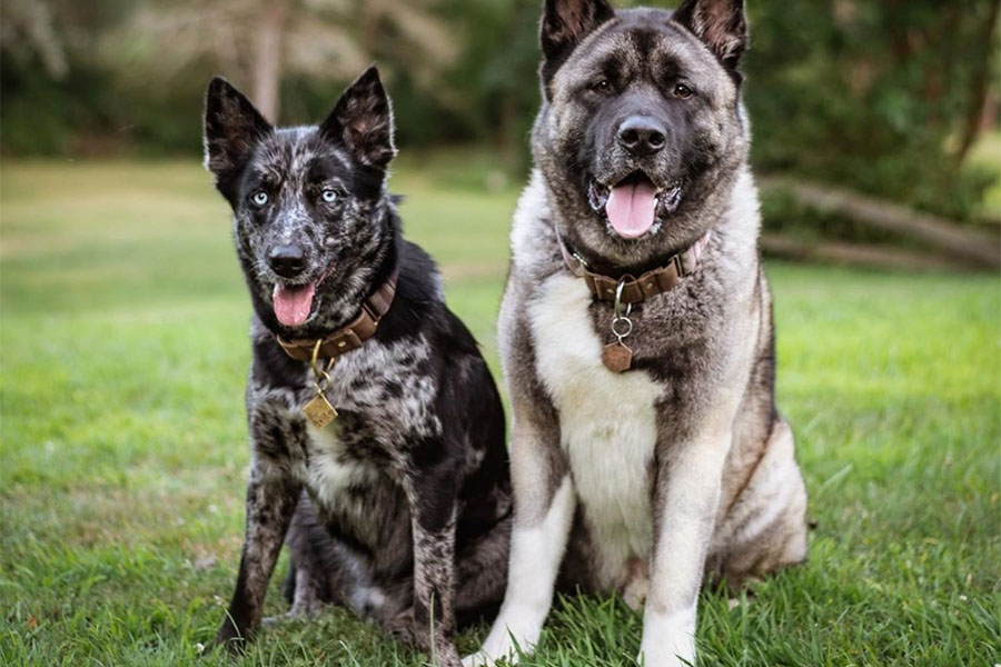Akita Raikou and Ausky Judge (Photo: Howling Up North / Instagram)
