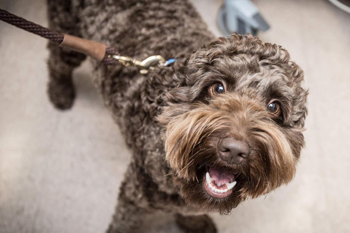 Kenny the therapy dog (Photo: UVA)