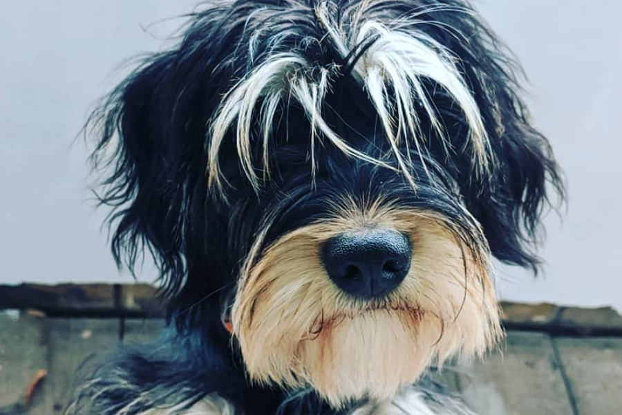 Ernie the King Schnauzer (Photo: kingerniesch / Instagram)
