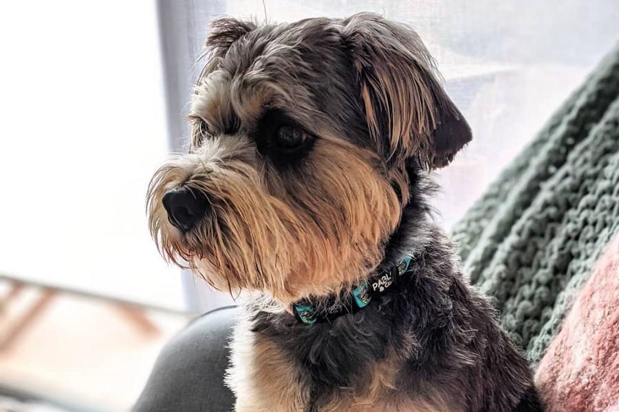 Darcy the King Schnauzer (Photo: jemmadventures / Instagram)