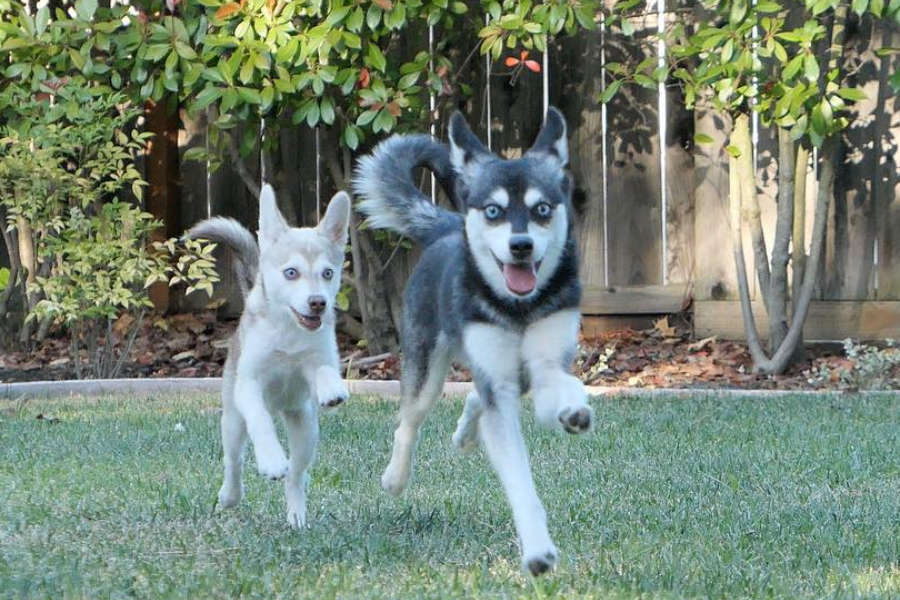 Alaskan Klee Kai have fun at a park (Photo: lifewithkleekai/Instagram)