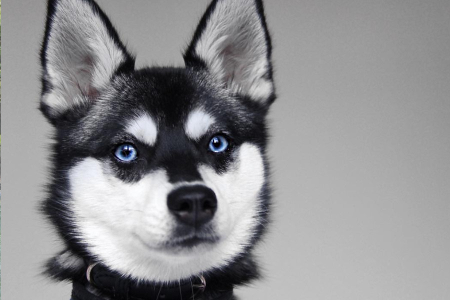 Alaskan Klee Kai can suffer with separation anxiety (Photo: lifewithkleekai/Instagram)