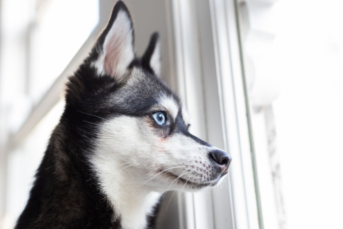 Alaskan Klee Kai at the window (Photo: Albalone Pet Studio)