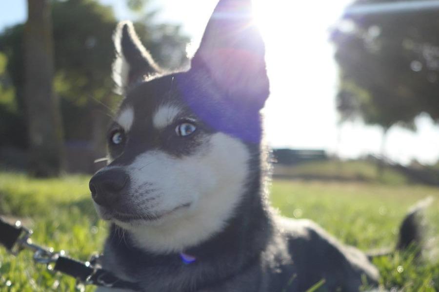 Skye, the Alaskan Klee Kai (Photo: ispywithmylittleskye/Instagram)