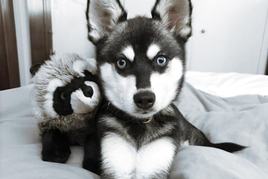 Alaskan Klee Kai can be black and white, grey and white, red and white and all white (Photo: lifewithkleekai/Instagram)