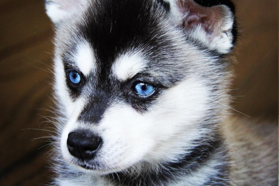Alaskan Klee Kai come in three different sizes (Photo: lifewithkleekai / Instagram)