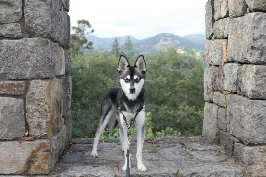 Alaskan Klee Kai come in a standard, miniature or toy size (Photo: ispywithmylittleskye/Instagram)