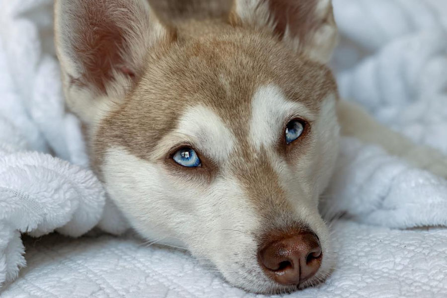 Alaskan Klee Kai (Photo: lifewithkleekai/Instagram)