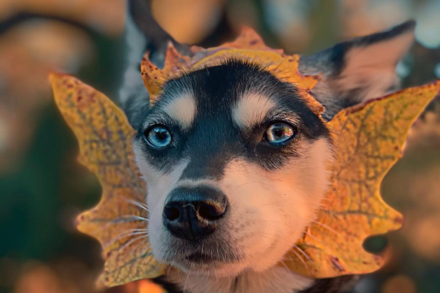 Alaskan Klee Kai have blue, brown, green or bi-eyes (Photo: lifewithkleekai/Instagram)