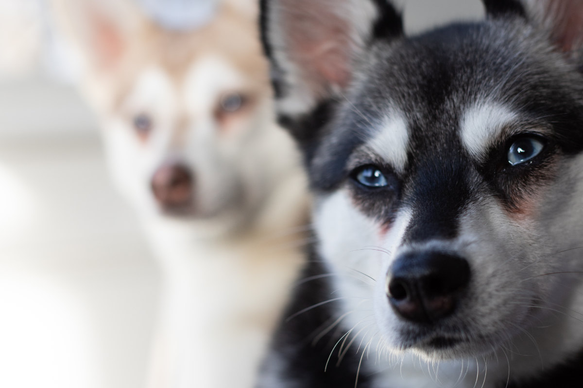 Alaskan Klee Kai tear stains (Photo: Albalone Pet Studio)