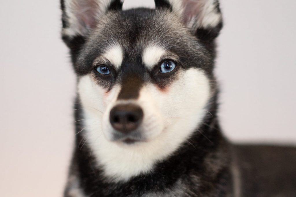 Alaskan Klee Kai tear stains (Photo: Albalone Pet Studio)