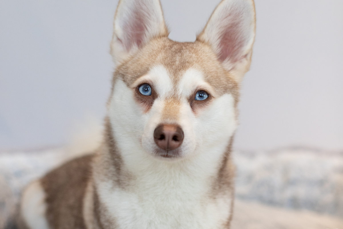 Alaskan Klee Kai dog (Photo: Albalone Pet Studio)