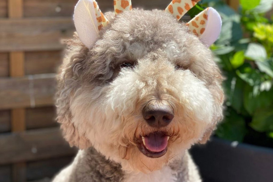 Bram the Labradoodle (Photo: @labradoodle_bram / Instagram)