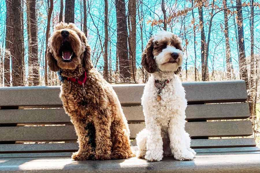 Copper and Lily the Labradoodles (Photo: @copper.and.lily / Instagram)