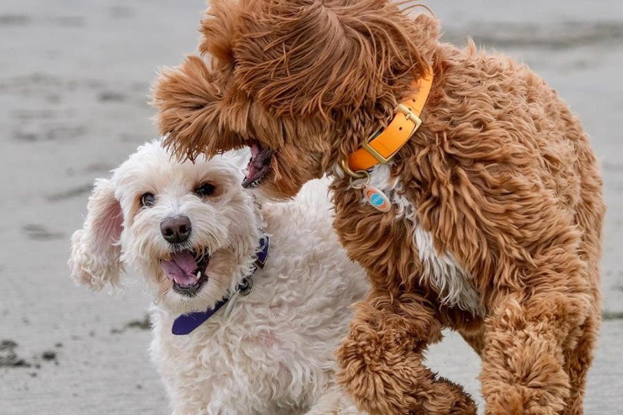 Labradoodles Mango and Savanna (Photo: @labradoodlemystique / Instagram)