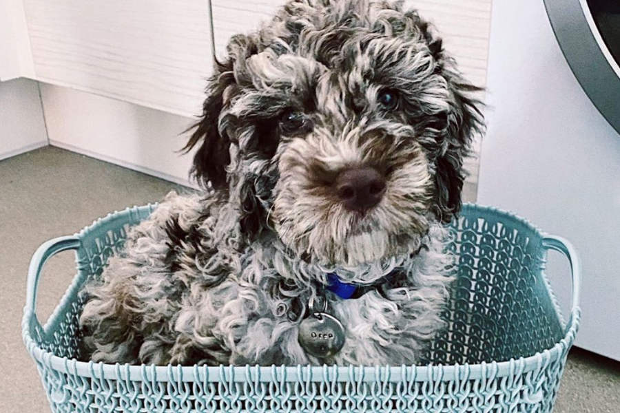 Oreo the Labradoodle (Photo: @oreodoodledo / Instagram)