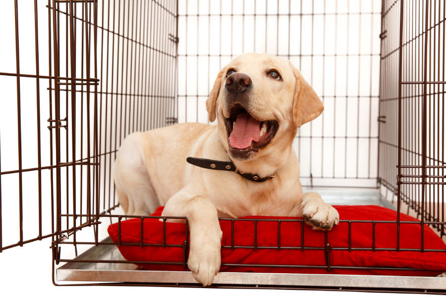Yellow Labrador in his crate (Photo: Adobe Stock)