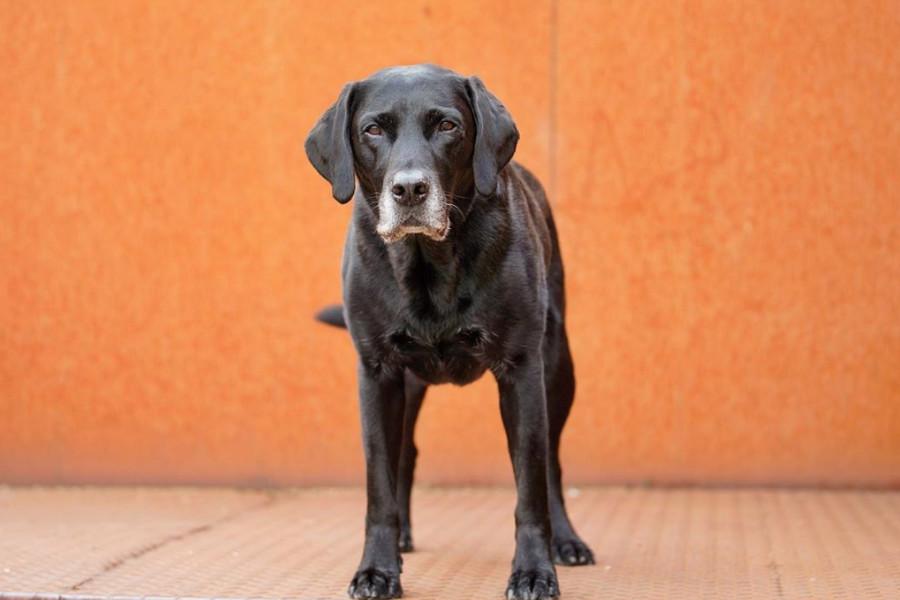 Junior the black Labrador (Photo: @junior_the_copenhagen_lab / Instagram)