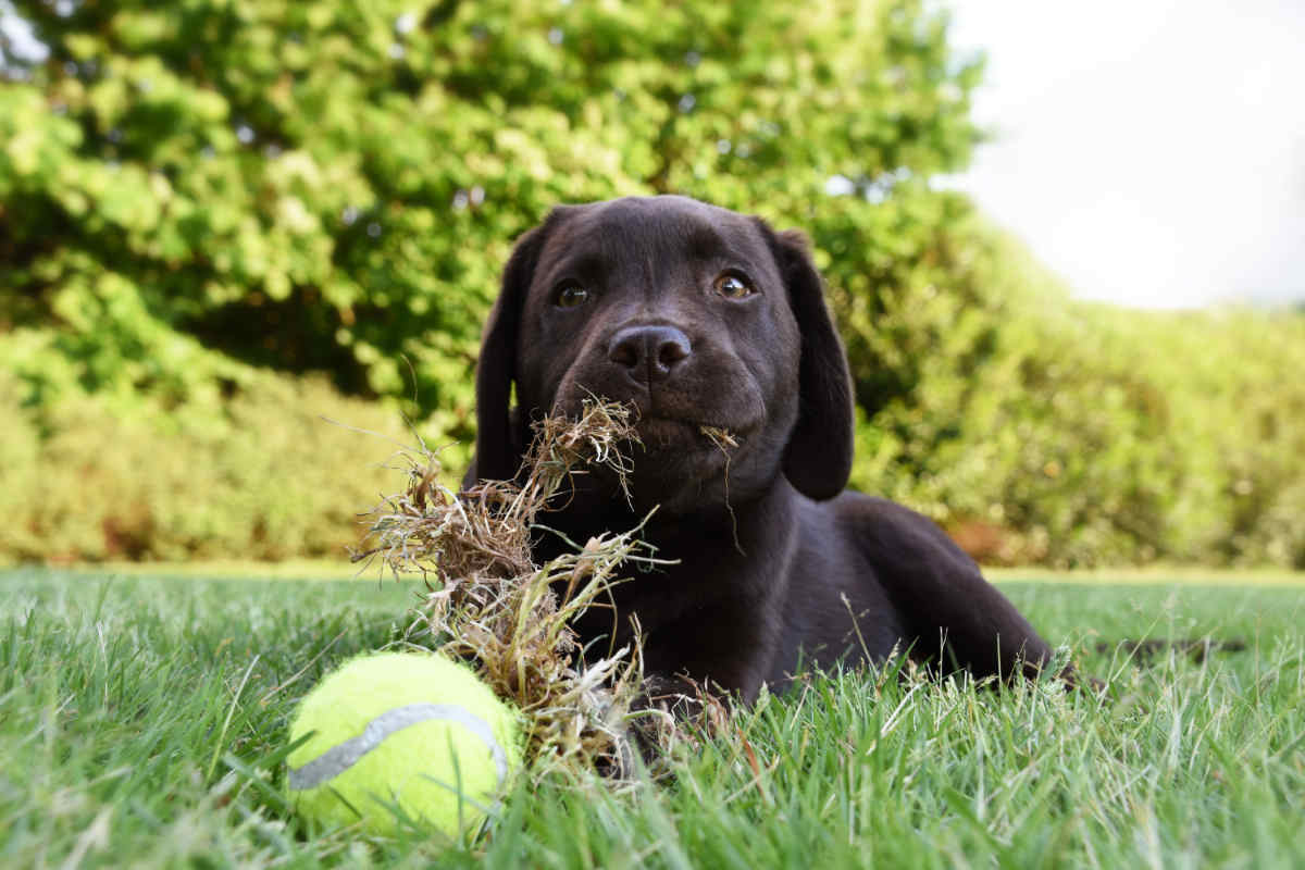 Labrador puppy eats grass (Photo: Adobe Stock)