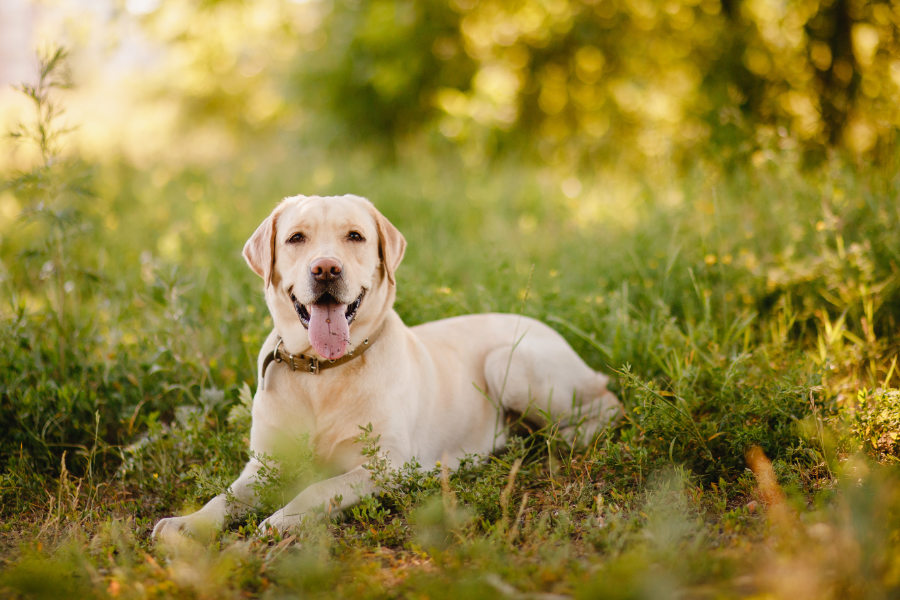 Labrador retriever playing outside smile in green park (Photo: Adobe Stock)