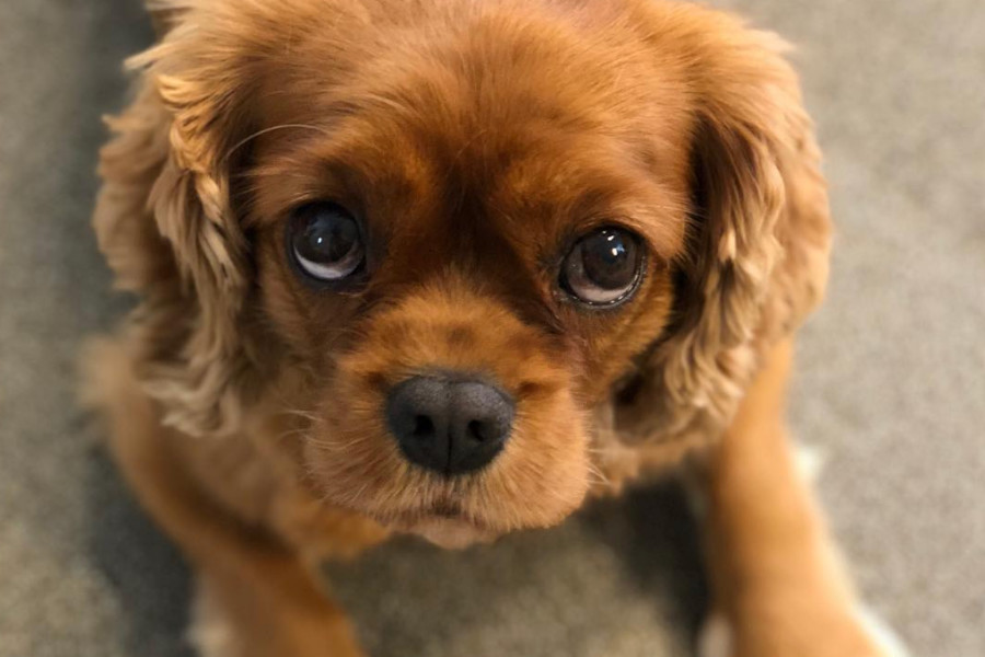 Cavalier King Charles Spaniel separation anxiety