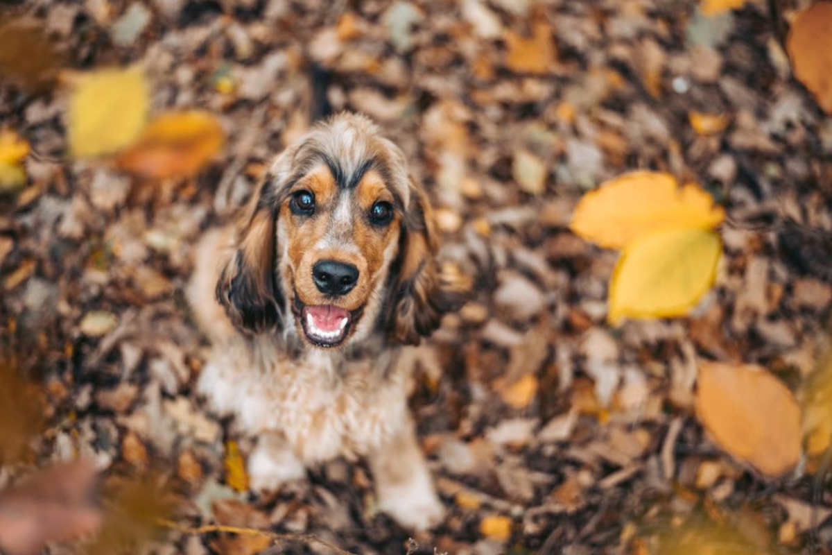 Leo the Cocker Spaniel (Photo: _leo_the_cocker_ / Instagram)