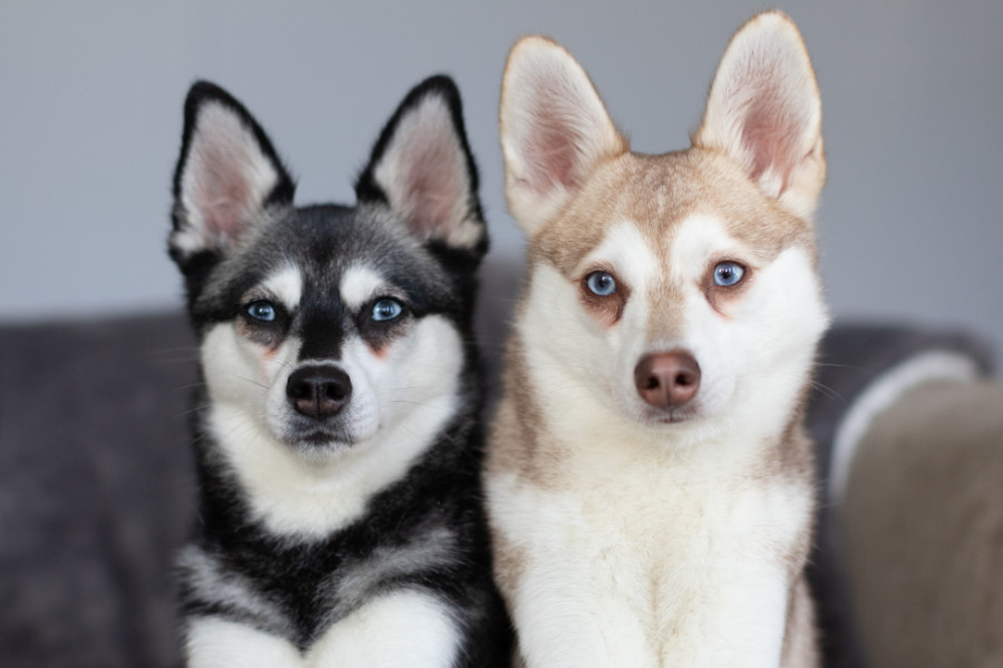 Skye and Copper the Alaskan Klee Kai (Photo: @albalonepetstudio @lifewithkleekai)