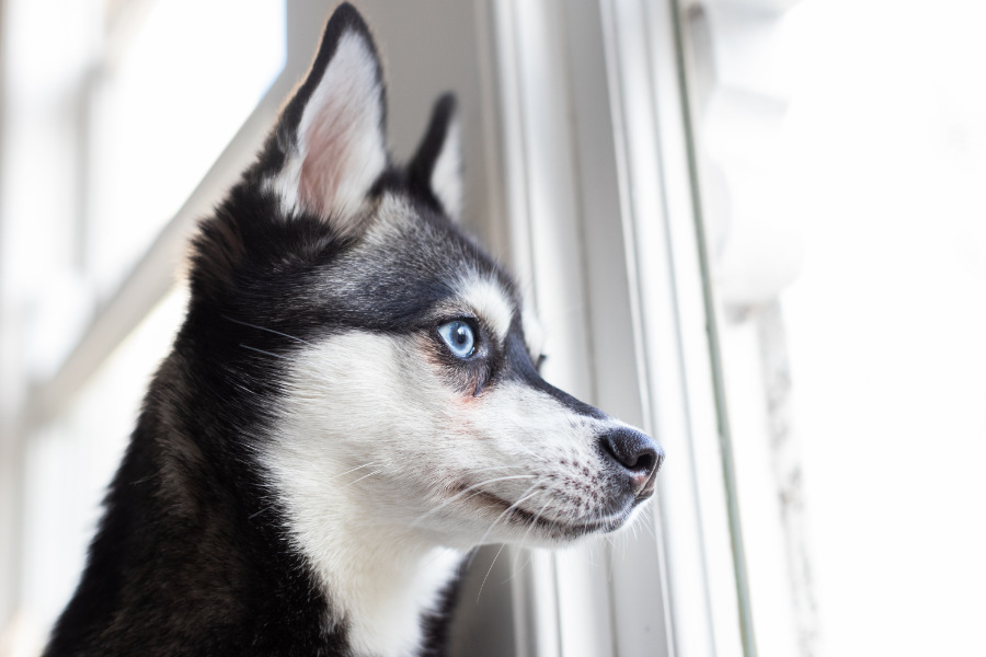 Skye the Alaskan Klee Kai (Photo: @albalonepetstudio @lifewithkleekai)