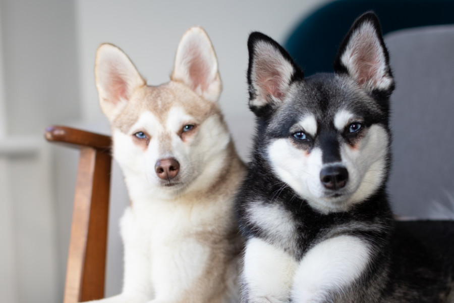 Copper and Skye the Alaskan Klee Kai (Photo: @albalonepetstudio @lifewithkleekai)