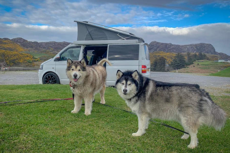 Life With Malamutes Interview Hellobark Phil and niko are two malamutes living with a cat called milo and their pet parents emma and shane. life with malamutes interview hellobark