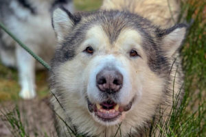 Do Alaskan Malamutes Shed?